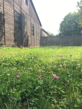 Auschwitz wildflowers