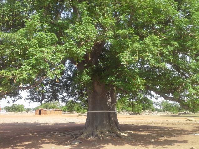 Picture_Baobab Tree.jpg